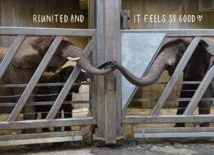 Olifantenmama en kind na 12 jaar weer samen