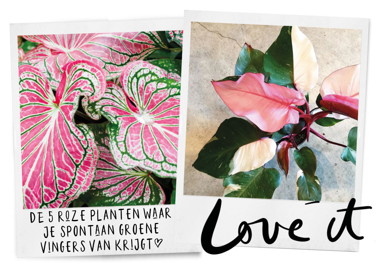 roze planten van lil, bladeren